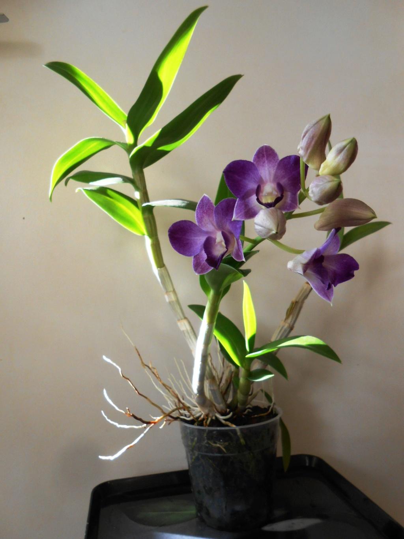 Dendrobium type Phalaenopsis Dscn0516