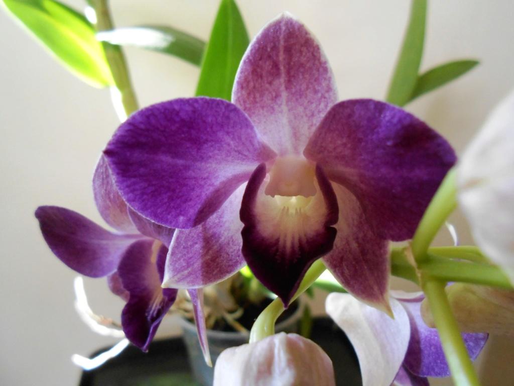 Dendrobium type Phalaenopsis Dscn0517