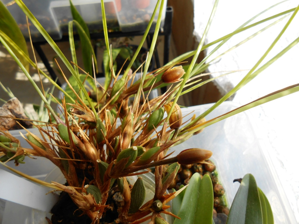 Floraison Maxillariella sanguinea Dscn0917