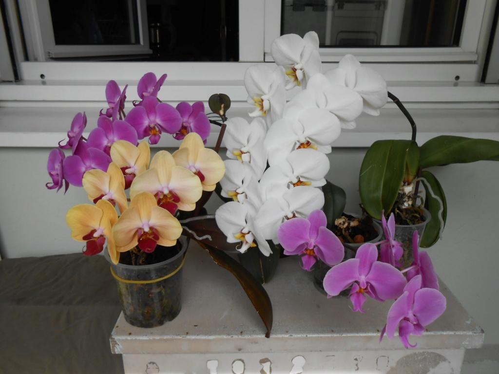 Floraison Phalaenopsis hybrides Dscn1310
