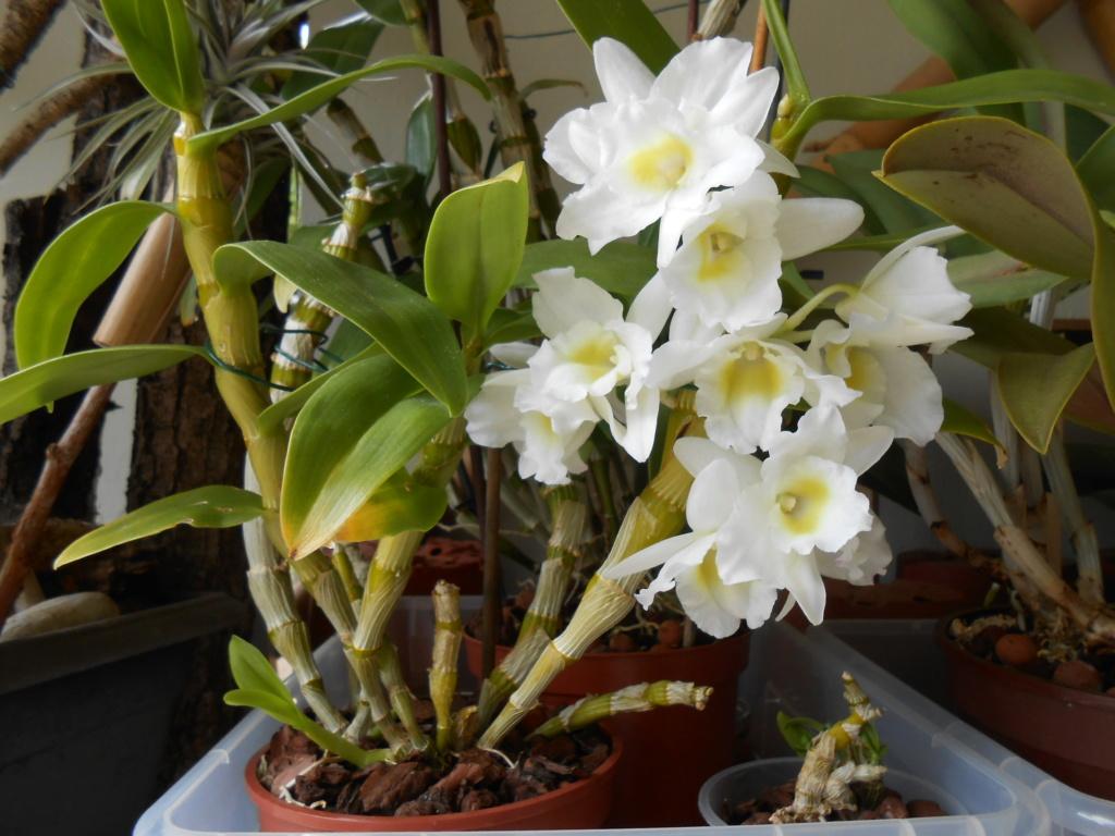 Dendrobium Spring Dream 'Apollon' (Keikis) Dscn1810