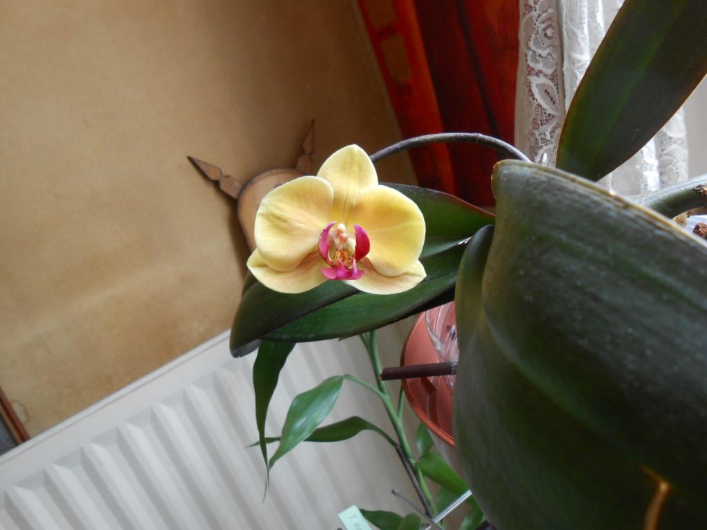 Floraison Phal. Dscn7510