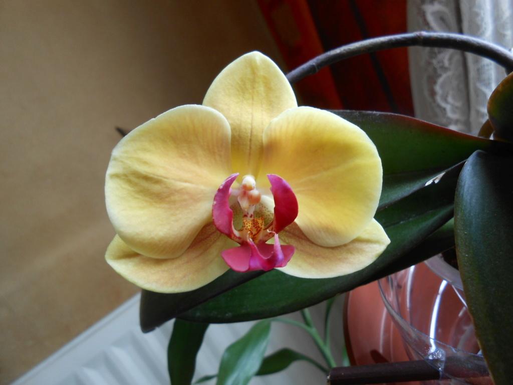 Floraison Phal. Dscn7511