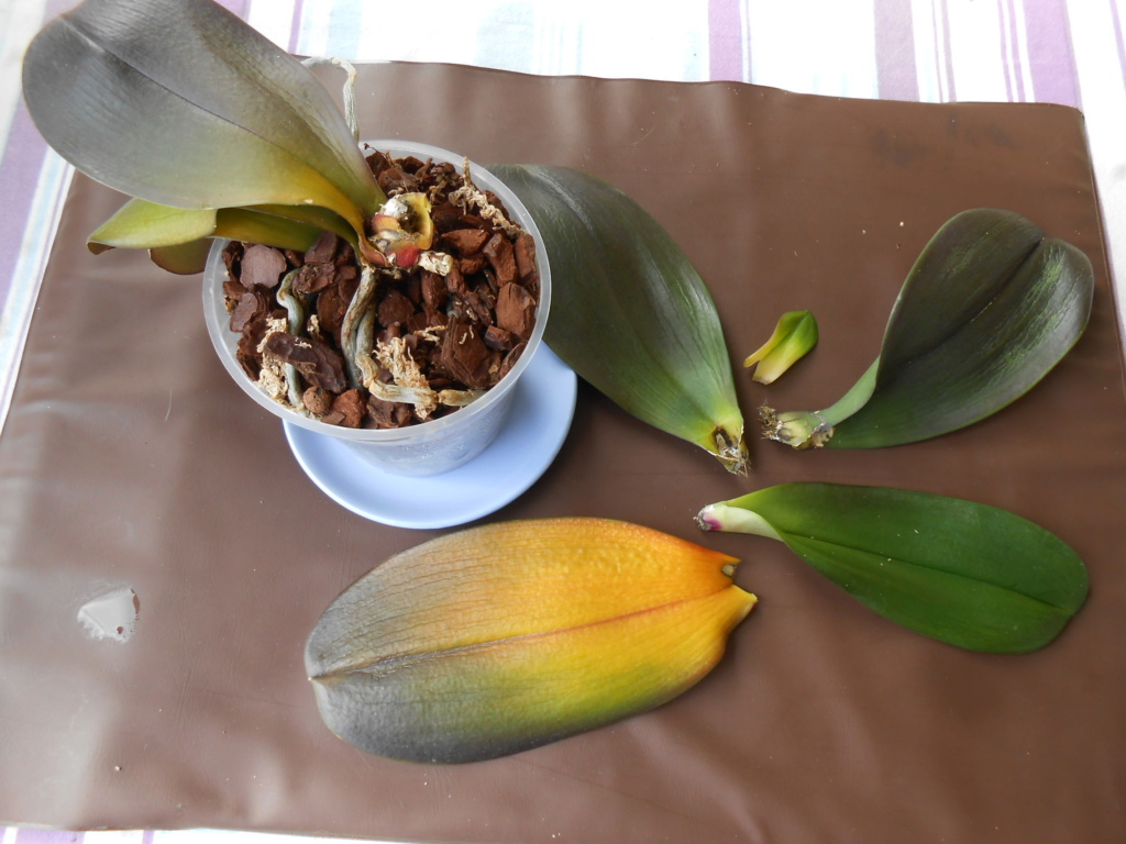 Mort d'un Phalaenopsis Dscn7916