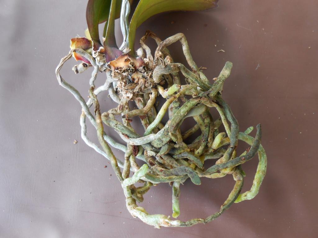 Mort d'un Phalaenopsis Dscn7917