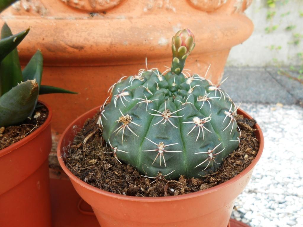 Parodia (Notocactus) scopa Dscn9511