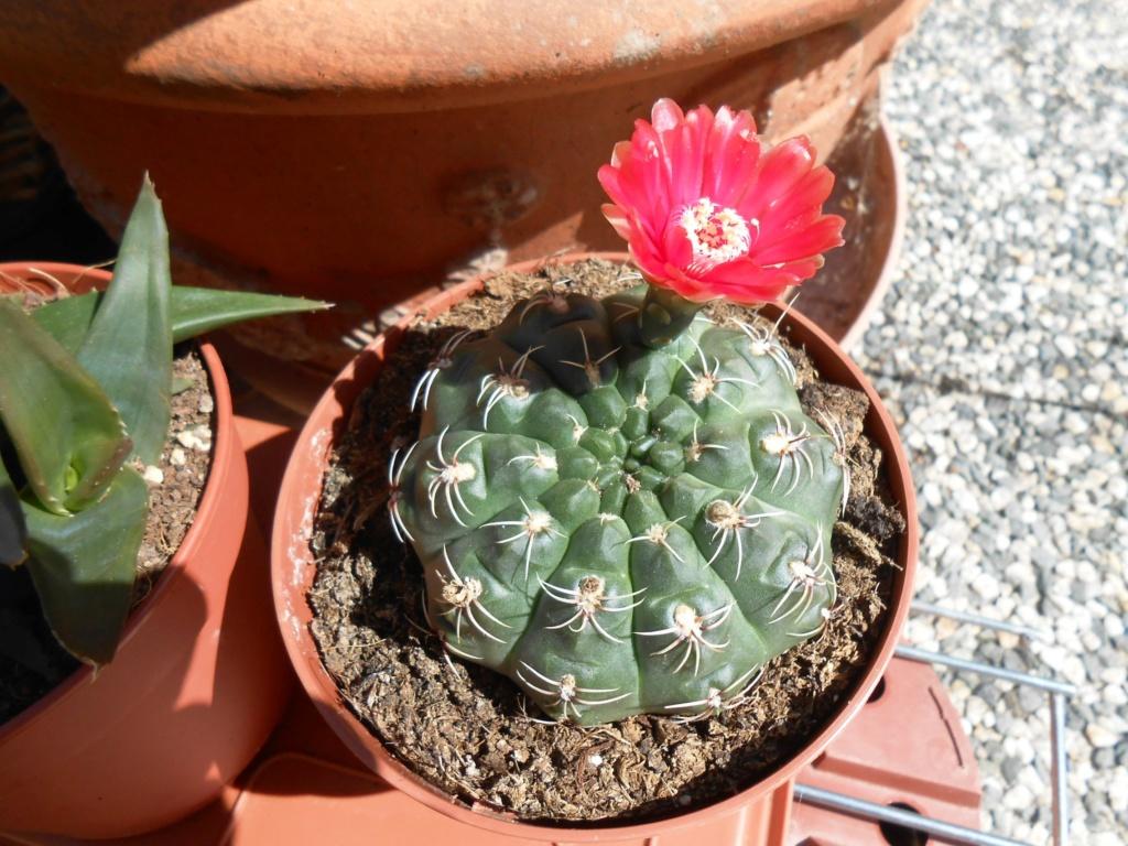 Parodia (Notocactus) scopa Dscn9512