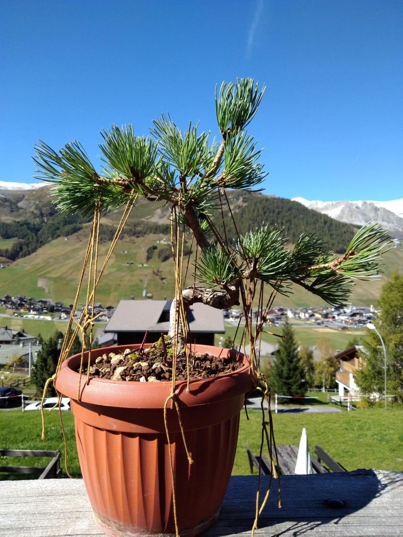 Pinus pentaphylla Img_2010