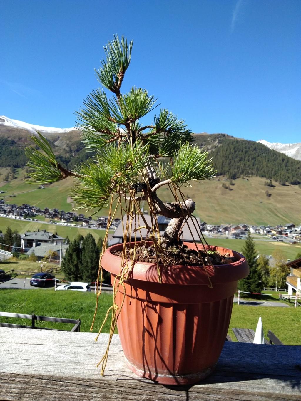Pinus pentaphylla Img_2012