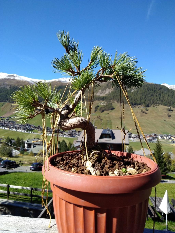 Pinus pentaphylla Img_2013