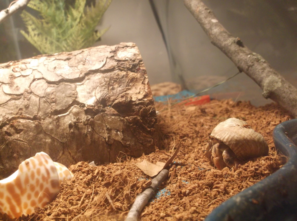 Land Hermit Crabs 5_10_210