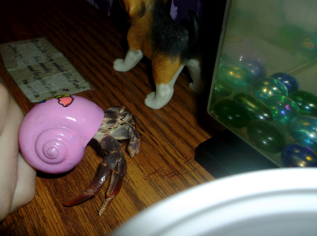 Land Hermit Crabs 7_12_211