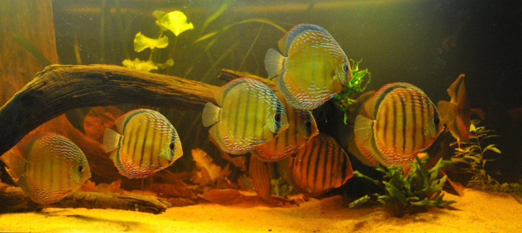 Projet Discus sauvages 57204510