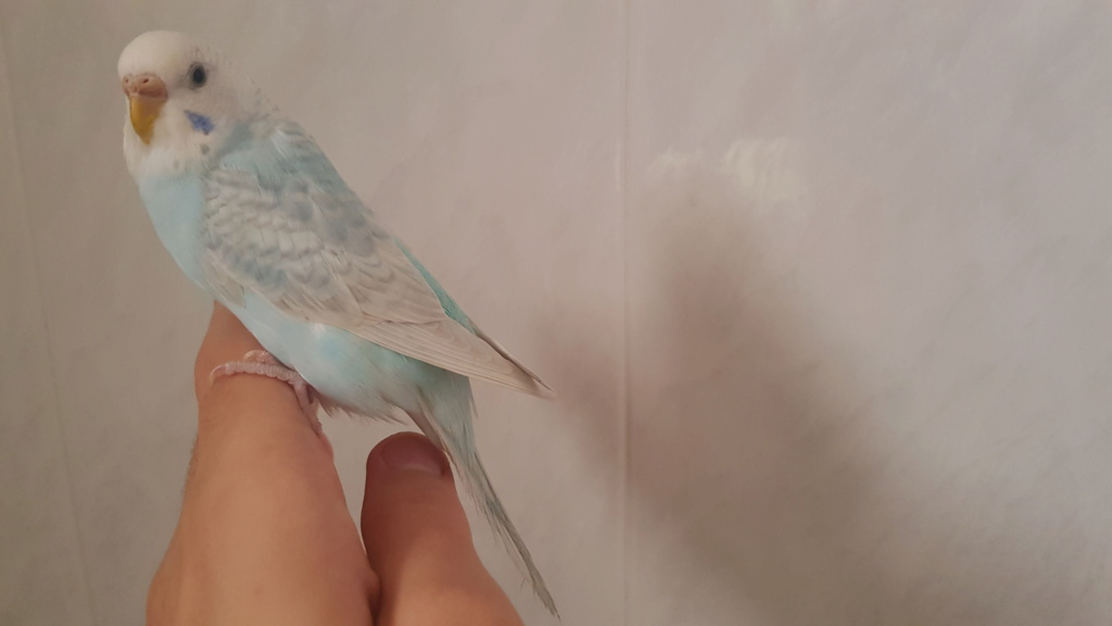 Ailes claires ou fullbody ailes gris 20191010