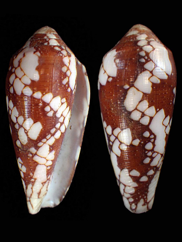 Conus episcopatus de Tahiti Conida14