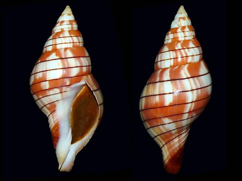 Cinctura tortugana - (Hollister, 1957) Fascio11
