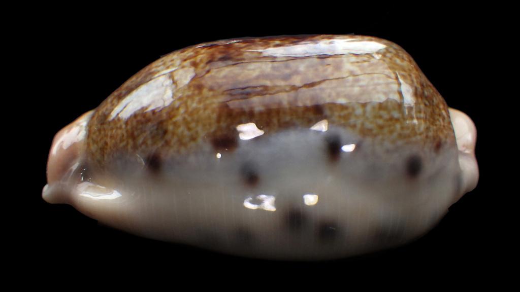 Erronea caurica songkalongensis Lorenz, 2019 Rimg2114