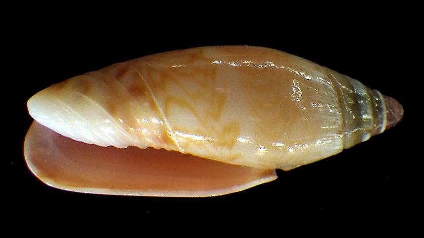 Oliva lacanientai (Greinfeneder & Blöcher, 1885) Rimg2810