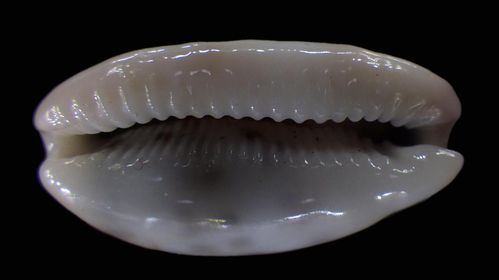 Talostolida teres janae - (Lorenz, 2002) Rimg2914