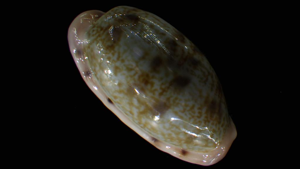 Talostolida teres janae - (Lorenz, 2002) Rimg2915
