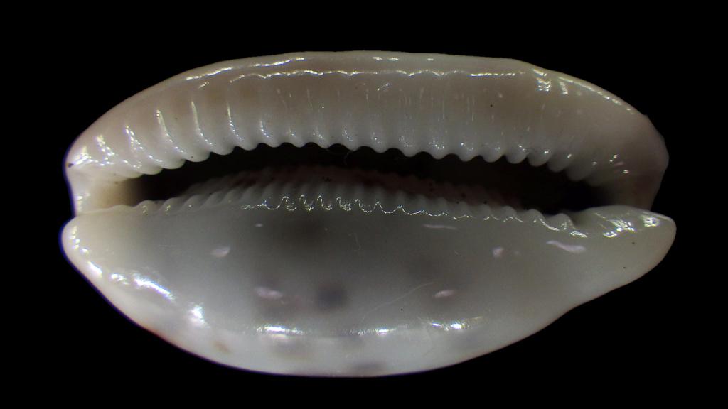 Talostolida teres janae - (Lorenz, 2002) Rimg2917