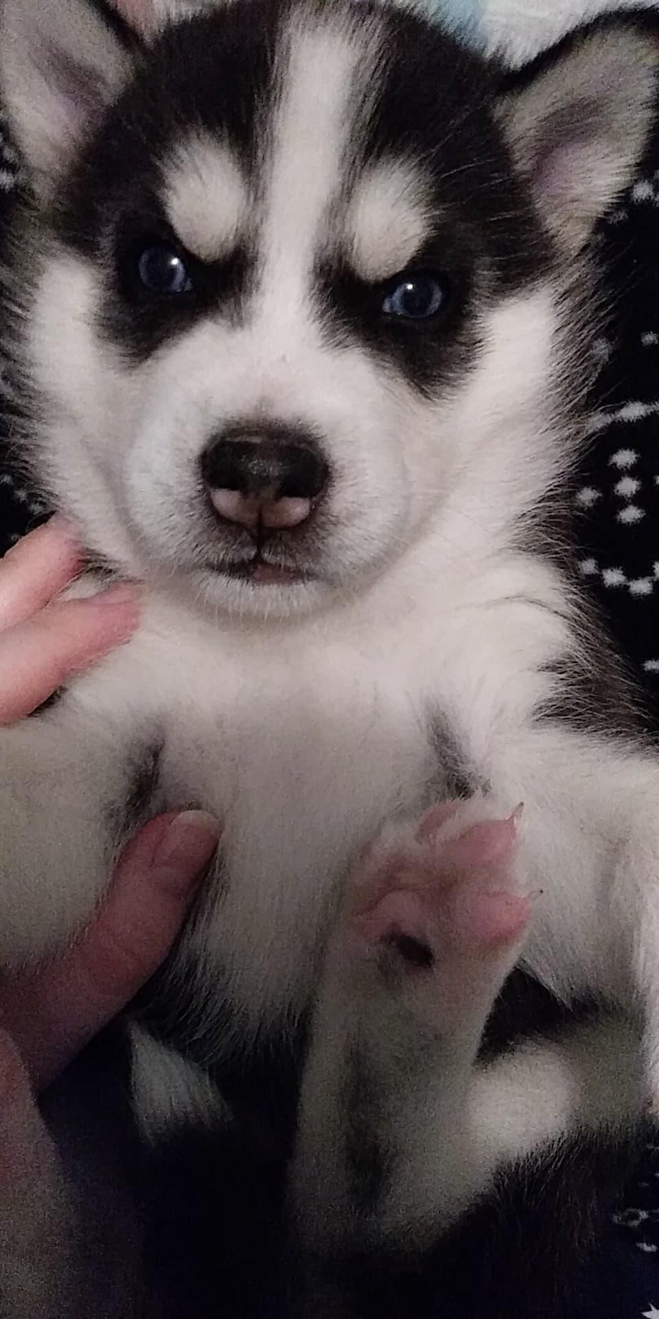 Help us name our husky! 15016710