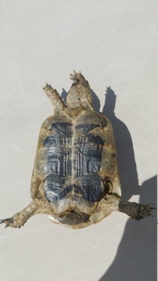 Identification de ma tortue Rocky 20210412