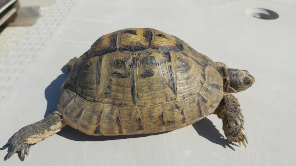 Identification de ma tortue Tank - 1 20210511
