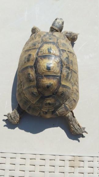 Identification de ma tortue Tank - 1 20210512