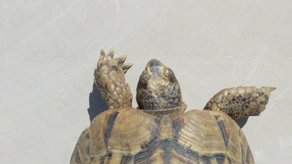 Identification de ma tortue Tank - 1 20210513
