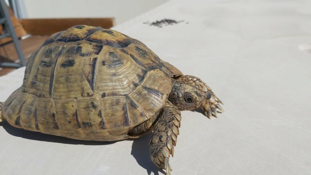 Identification de ma tortue Tank - 1 20210514