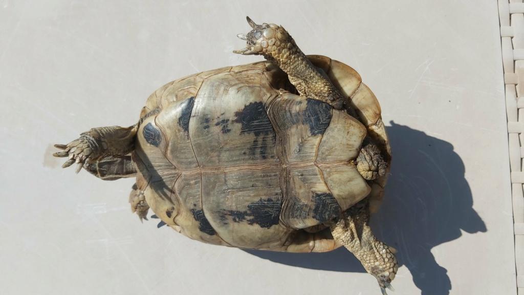Identification de ma tortue Tank - 1 20210517