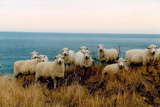Les 100 plus belles photos animalières de l'année - Page 2 Mouton10