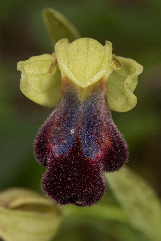 CRETE 4 au 8 MARS 2019 Ophrys13