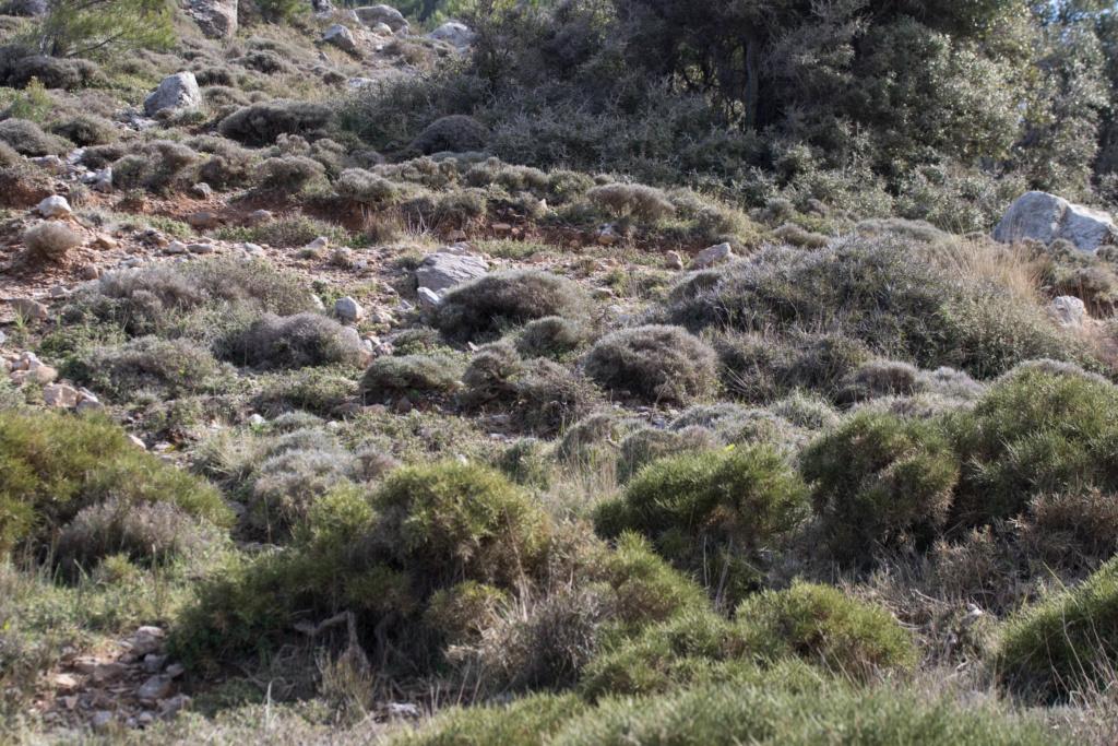 CRETE 4 au 8 MARS 2019 Ophrys16
