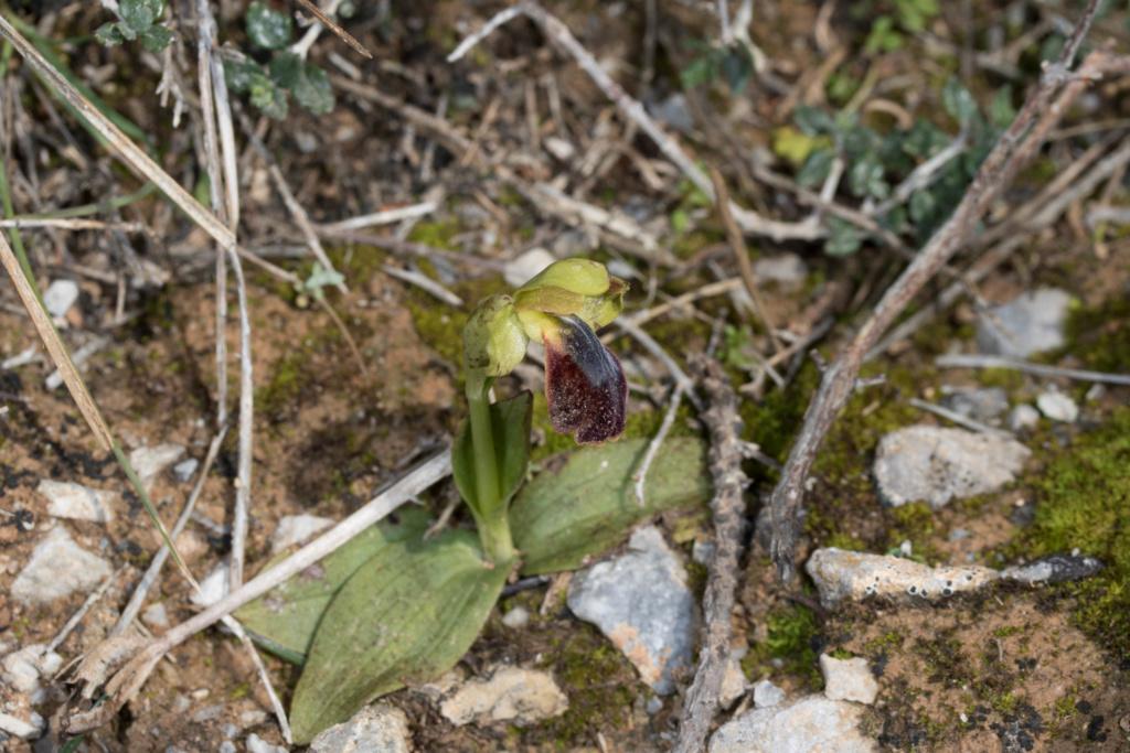 CRETE 4 au 8 MARS 2019 Ophrys18