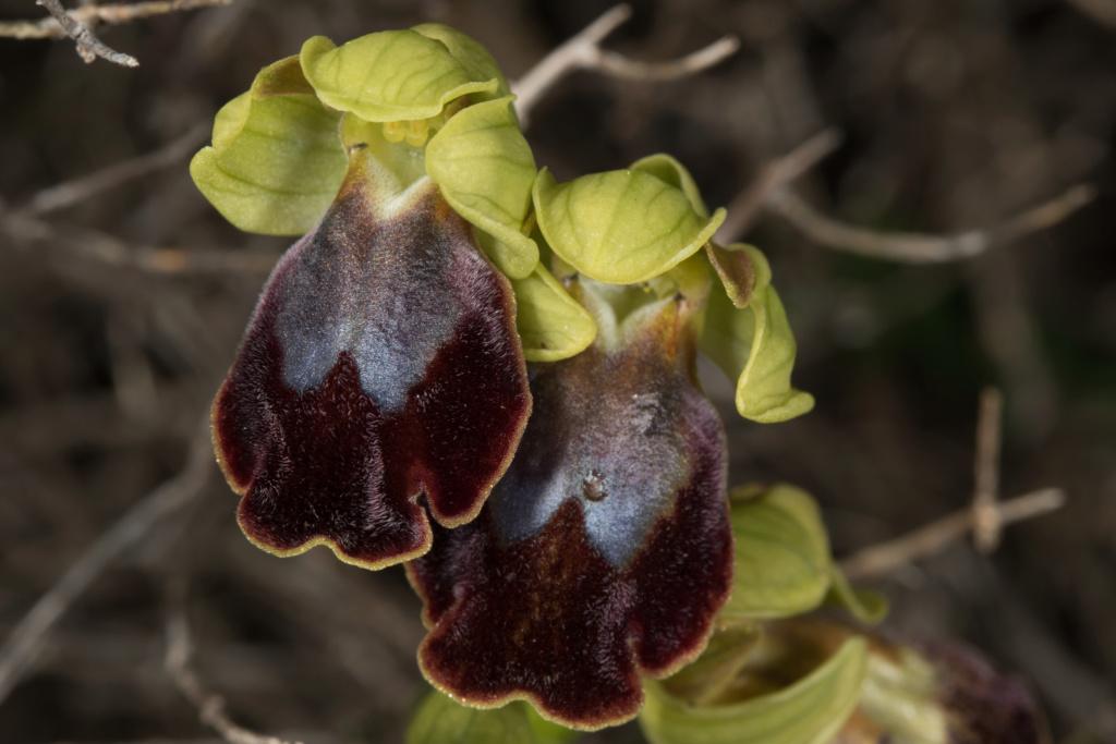 CRETE 4 au 8 MARS 2019 Ophrys26