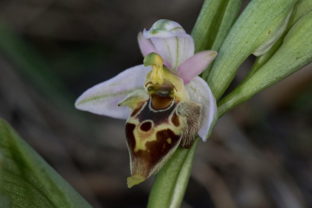 CRETE 4 au 8 MARS 2019 Ophrys40