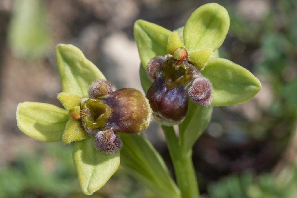 CRETE 4 au 8 MARS 2019 Ophrys50