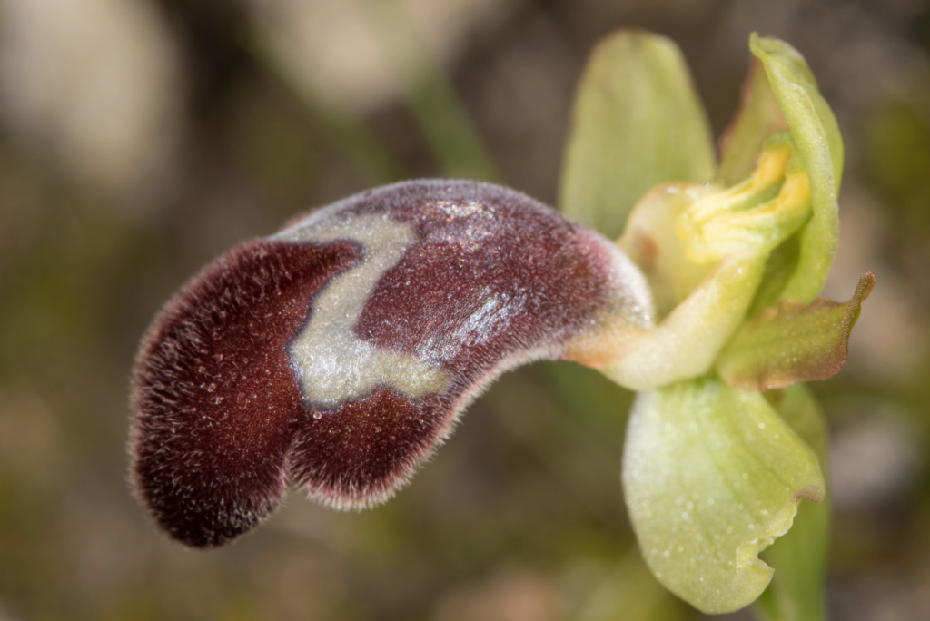CRETE 4 au 8 MARS 2019 - Page 2 Ophrys61