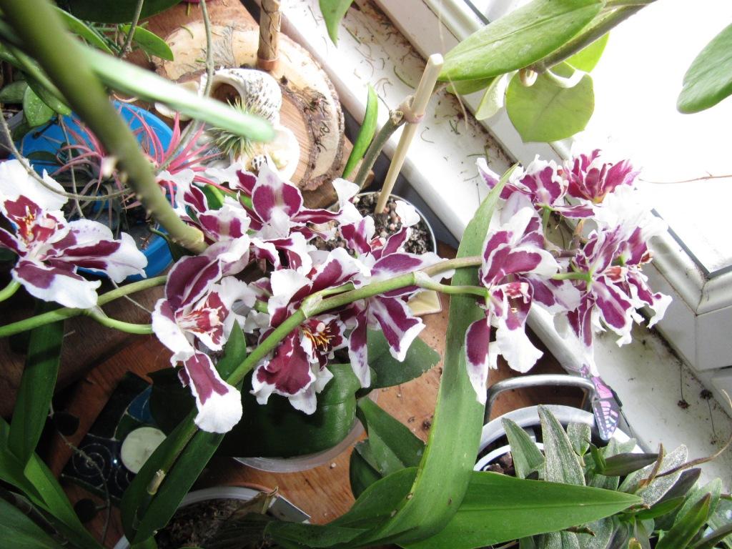 Floraison de mes Orchidées  00119