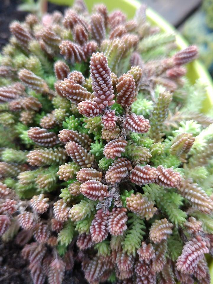 Succulente    Sedum Sexangulare 57325110