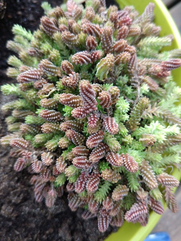 Succulente    Sedum Sexangulare 57352910