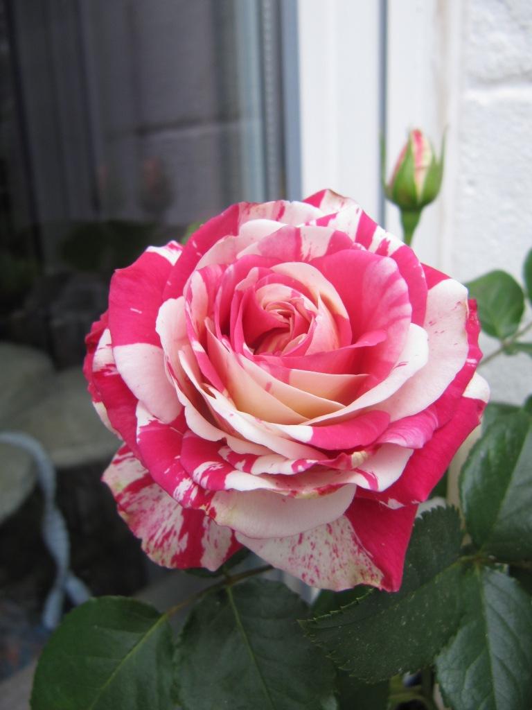 Fleurs du jardin en ce moment  Les_fl11
