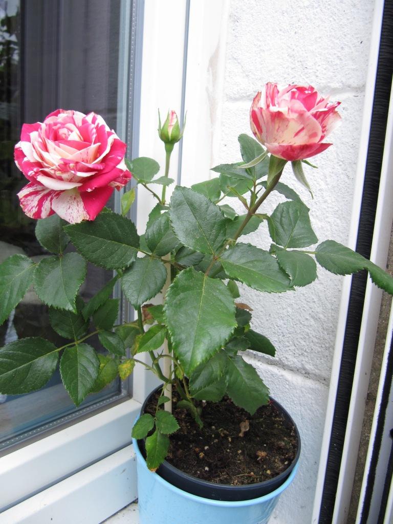 Fleurs du jardin en ce moment  Les_fl13