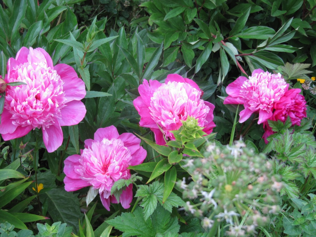 Fleurs du jardin en ce moment  Les_fl14
