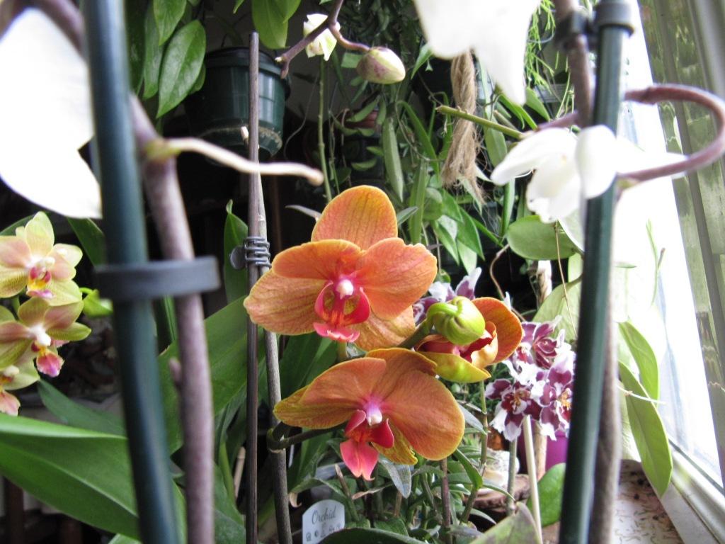 Floraison de mes Orchidées  Orchid11