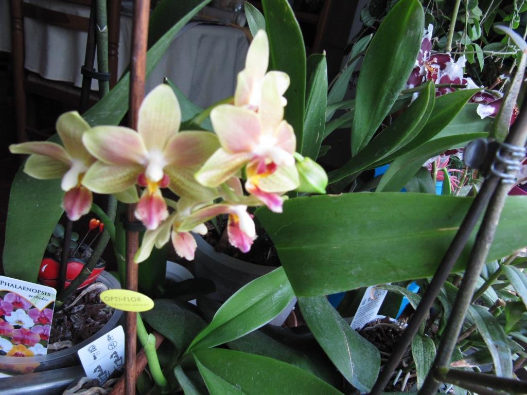 Floraison de mes Orchidées  Orchid12
