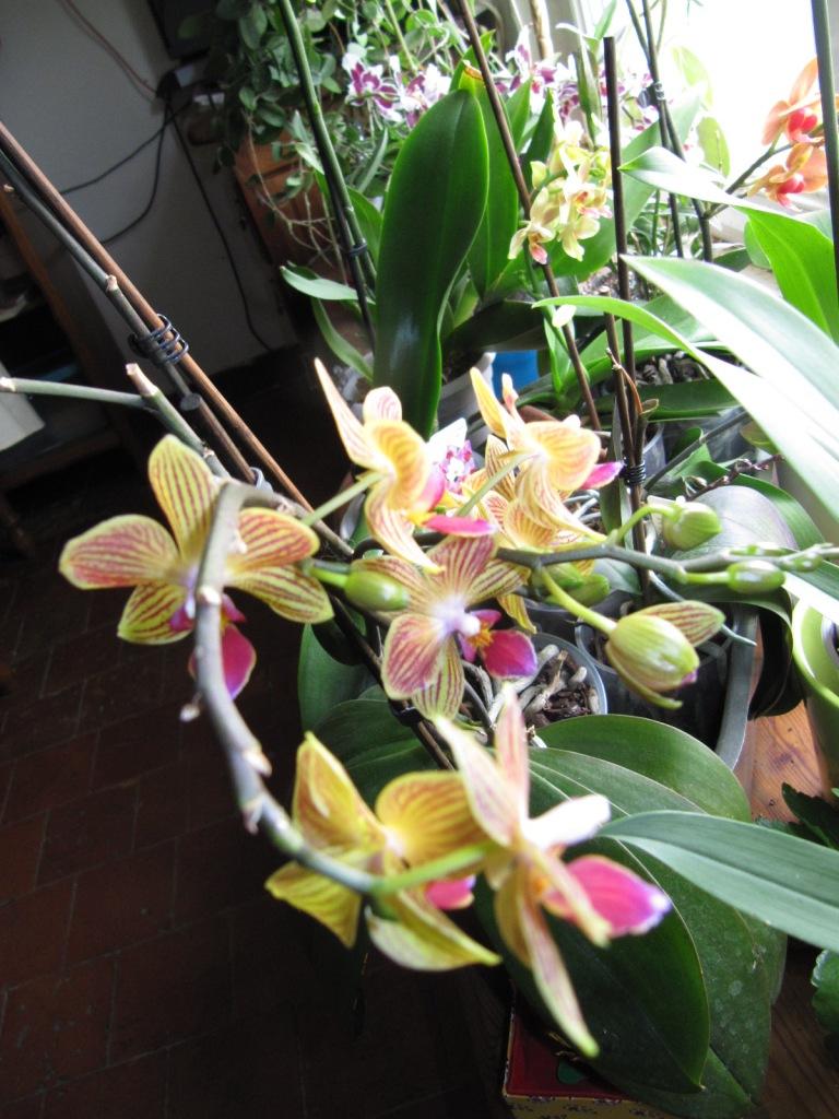 Floraison de mes Orchidées  Orchid13