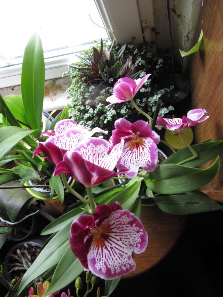 Floraison de mes Orchidées  Orchid14